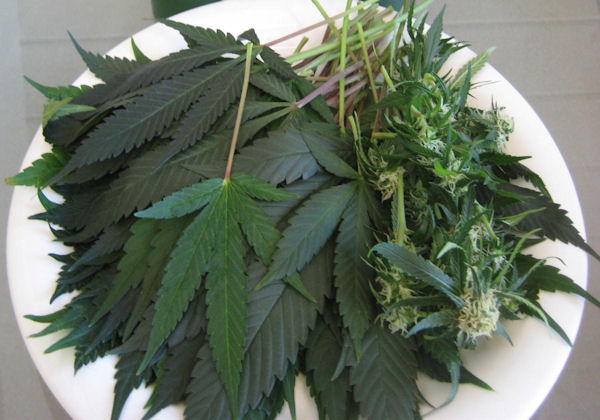Cannabis: The Most Important Vegetable on the Planet
