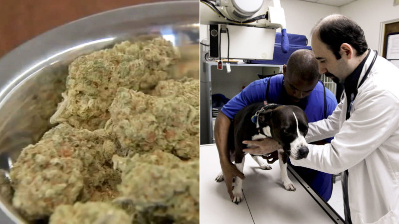 California veterinarians could soon recommend medical marijuana for pets