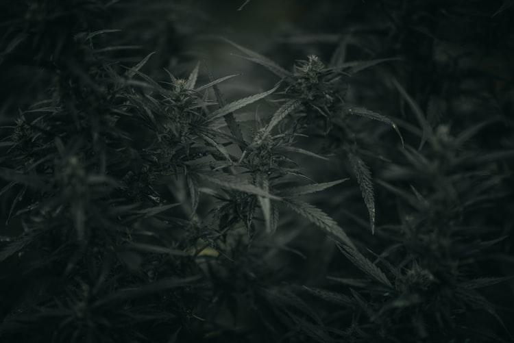 Marijuana-Strains-In-Las-Vegas-Latest-Articles