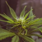Optimizing the Root Zone Environment in Cannabis: Q&A with Brian Jackson