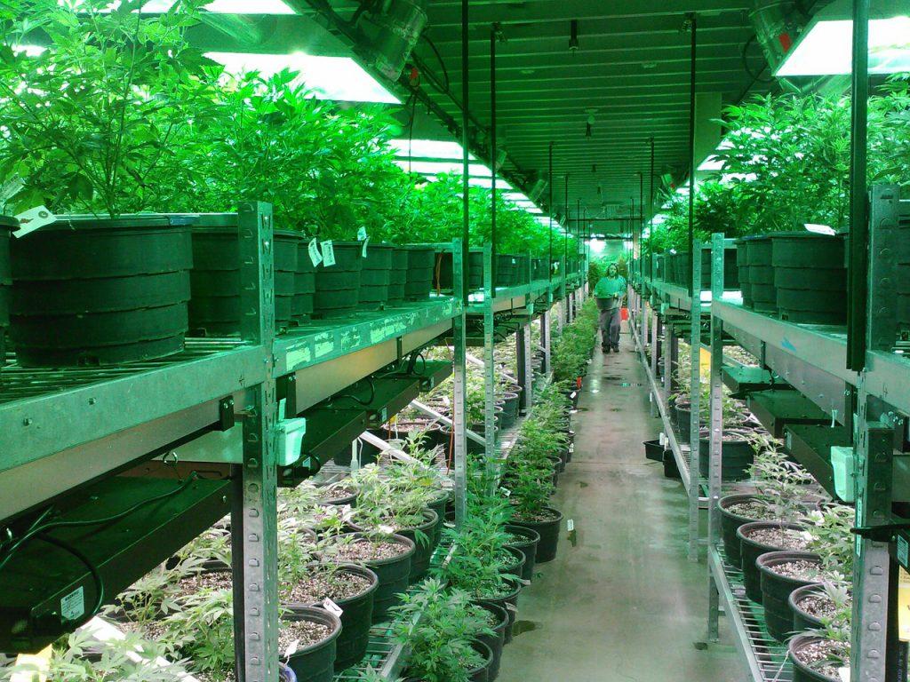 Vegas Stoners Beware Batches Of Moldy Cannabis Found At Local Dispensaries marijuana