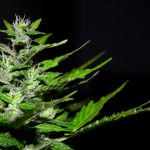 Best Cannabis Flower Producers in Las Vegas