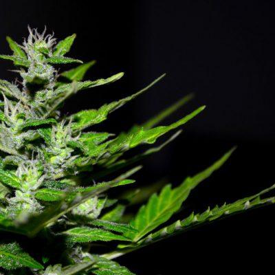 Best Cannabis Flower Producers in Las Vegas
